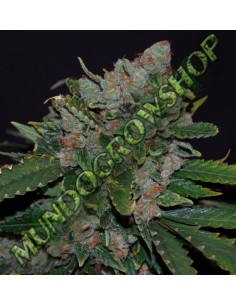 Outlet - Eclipse * HOMEGROWN FANTASEEDS