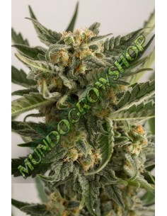 Outlet - THE FANTASY * HOMEGROWN FANTASEEDS