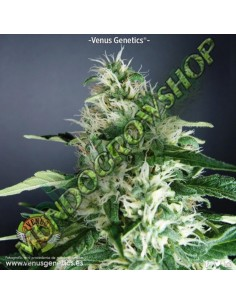 10 UND REG - G13-HAZE WHITE LIGHT * SOMASEEDS-G13 10 UND REGULARES