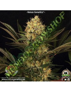 1 UND FEM - NORTHERN LIGHTS AUTOFLORECIENTE * GENEHTIK SEEDS 1 UND FEMINIZADA