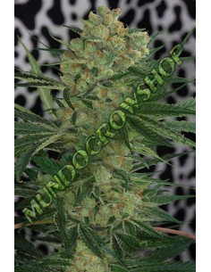 5 UND REG - BURUANDI BLOCK HEAD * GENEHTIK SEEDS 5 UND REGULARES