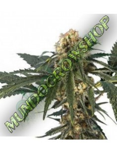 7 UND FEM - AFGHAN KUSH (PURE ORIGIN COLLECTION) * WORLD OF SEEDS 7 UND FEMINIZADAS