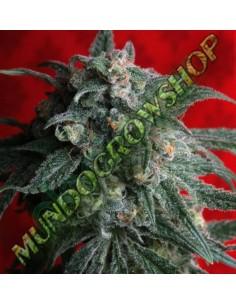 5 UND FEM - BLUE MAMMOTH (AUTO FLOWERING) * BARNEY´S FARM 5 UND FEMINIZADAS