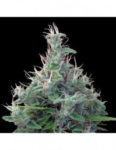 3 UND FEM - FRUIT PUNCH AUTO * HEAVYWEIGHT SEEDS 3 UND FEMINIZADAS