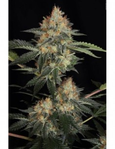 5 UND FEM - DR. FEELGOOD * SHORT STUFF SEEDS FEM 5 UND