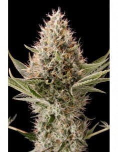 5 UND FEM - SUPER STINKY (SUPER AUTO) * SHORT STUFF SEEDS FEM 5 UND