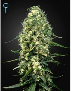 10 UND FEM - BUBBLE CHEESE * BIG BUDDHA SEEDS 10 UND FEMINIZADAS