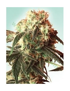 5 UND FEM - LEGENDS GOLD * BIG BUDDHA SEEDS 5 UND FEMINIZADAS
