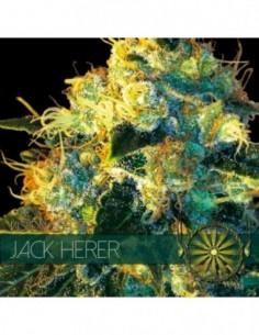 30 UND REG - PAKISTAN CHITRAL KUSH PACK DE CRIA * ACE SEEDS 30 UND REGULARES