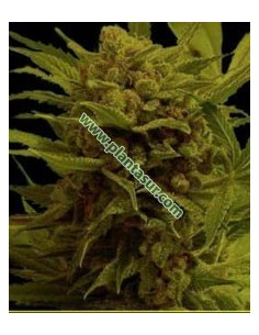 10 UND FEM - MR. AMNESIA MASS * MR. HIDE SEEDS 10 UND FEM