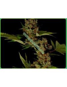 10 UND FEM - AUTO NORTHERN CREAM * MR. HIDE SEEDS 10 UND FEM